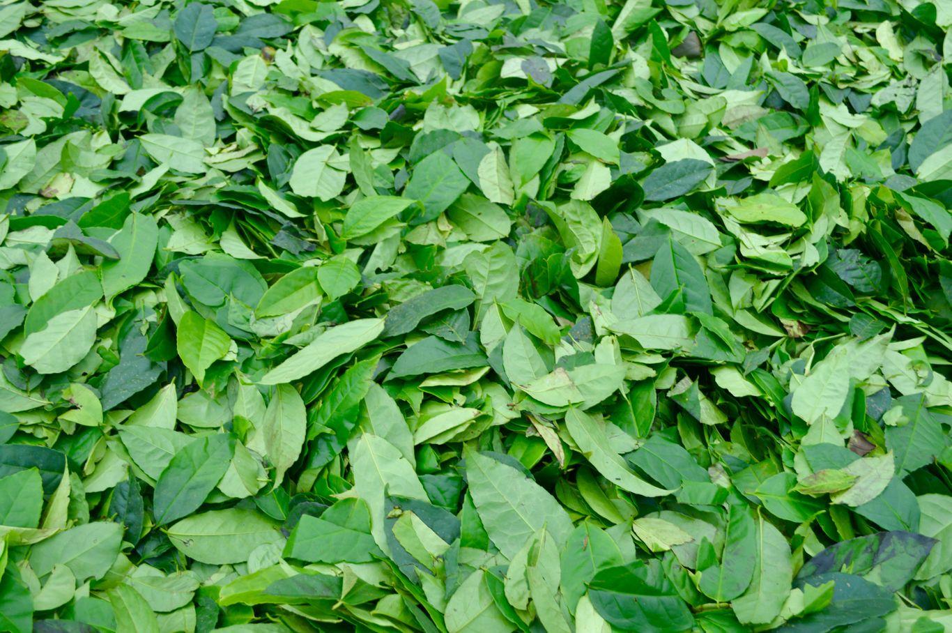 """fresh loose leaf guayusa"""
