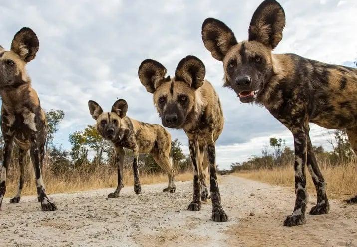 Anjing Liar Afrika