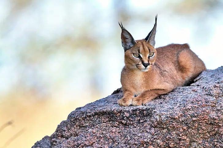 Kucing Karakal (Caracal Caracal)