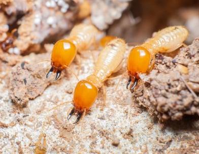 termite control-白蚂蚁解决方法-诗巫-民都鲁