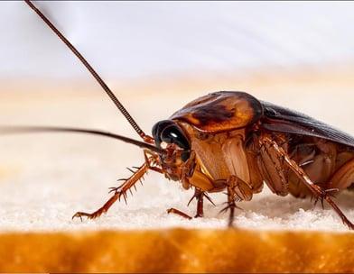 蟑螂公司-诗巫-民都鲁-Cockroaches Company-Sibu-Bintulu
