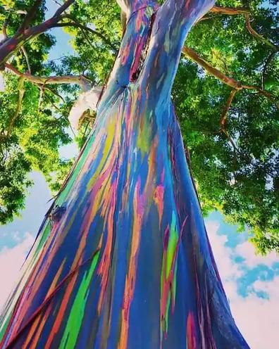 Pohon Pelangi : Salah satu pohon langka yang ada di Indonesia