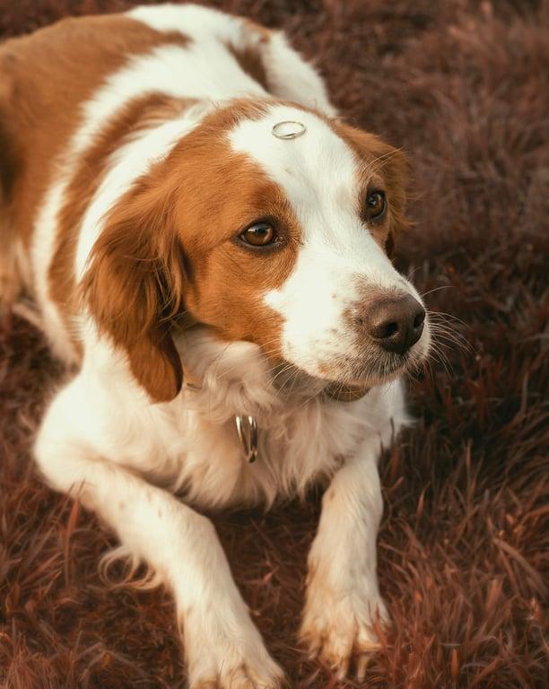 perro con manchas con anillo de boda en la cabeza