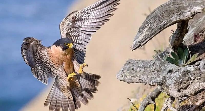 Burung Paregrine, Burung Tercepat di Dunia
