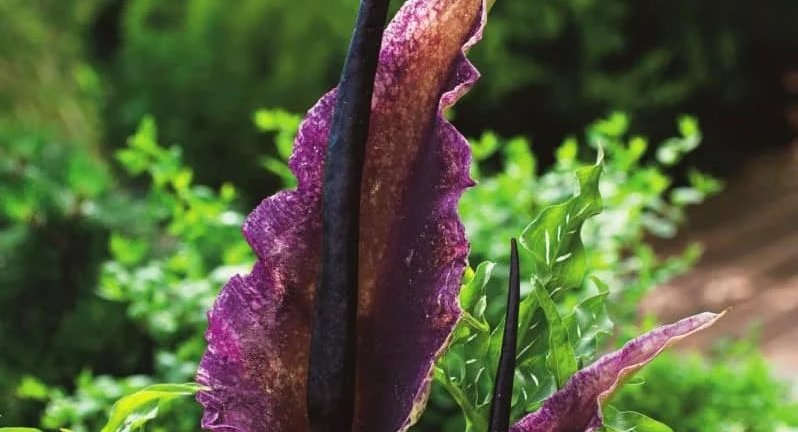 Mengenal Bunga Dracunculus vulgaris