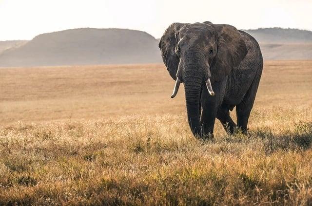 mengenal gajah afrika dan kehidupannya lebih jauh