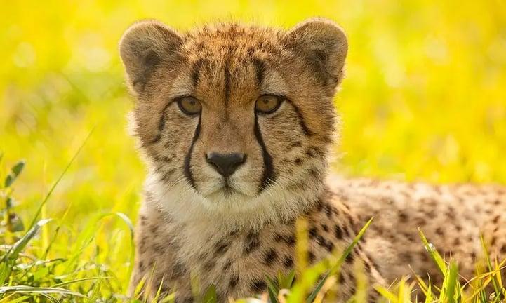 jawaban atas pertanyaan seputar cheetah