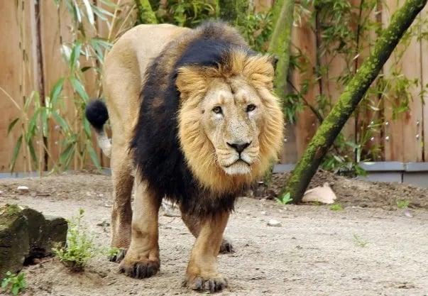 Singa Asia atau Singa India
