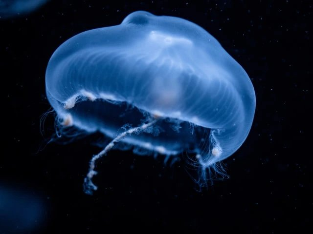 Ubur-Ubur yang merupakan hewan invertebrata
